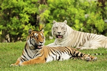 The tiger is the largest cat species, reaching...