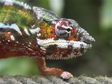 Chameleons are a distinctive and highly specialize...