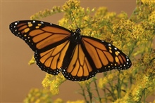 A butterfly is a mainly day-flying insect of the...