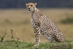 The cheetah is a large-sized feline inhabiting most of Africa and parts of...