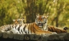 The tiger is the largest cat species, reaching a total body length of up to 3.3 metres (11 ft)...
