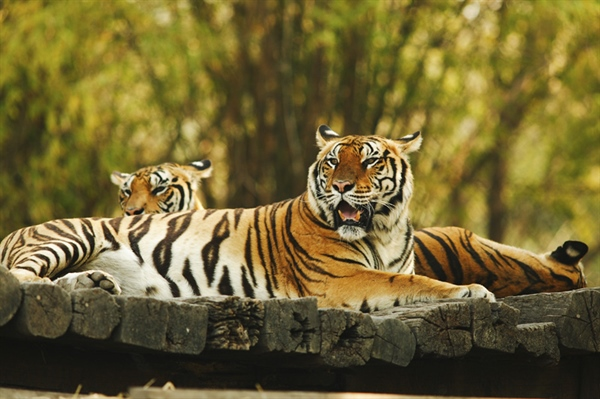 The tiger is the largest cat species, reaching a total body length of up to 3.3 metres (11 ft) and weighing up to 306 kg (670 lb)