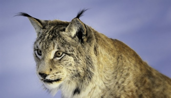 The Eurasian lynx is a medium-sized cat native to European and Siberian forests, South Asia and...