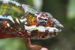 Chameleons are a distinctive and highly specialized clade of lizards
