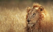 The lion is one of the four big cats in the genus Panthera, and a member of the...