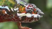 Chameleons are a distinctive and highly specialized clade of...