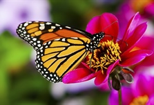 A butterfly is a mainly day-flying insect of the order Lepidoptera, which...
