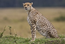 The cheetah is a large-sized feline inhabiting most of Africa and parts of the...