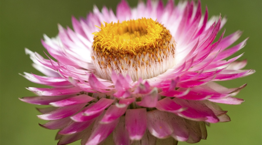 The flowers of plants that make use of biotic pollen vectors commonly have glands called...