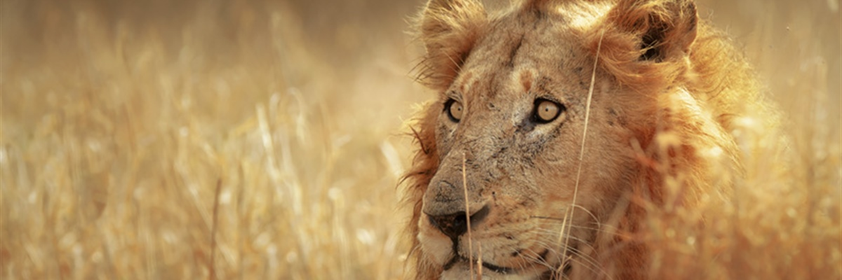 The lion is one of the four big cats in the genus Panthera, and a member of the family...