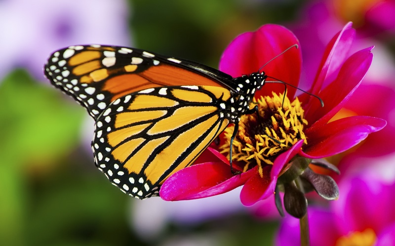 A butterfly is a mainly day-flying insect of the order Lepidoptera, which includes the...