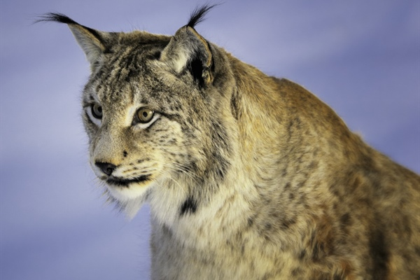 The Eurasian lynx is a medium-sized cat native to European and Siberian forests, South...