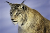 The Eurasian lynx is a medium-sized cat native to...