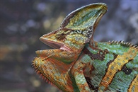 Articles with single Chameleon gallery