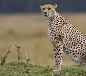 The cheetah is a large-sized feline...