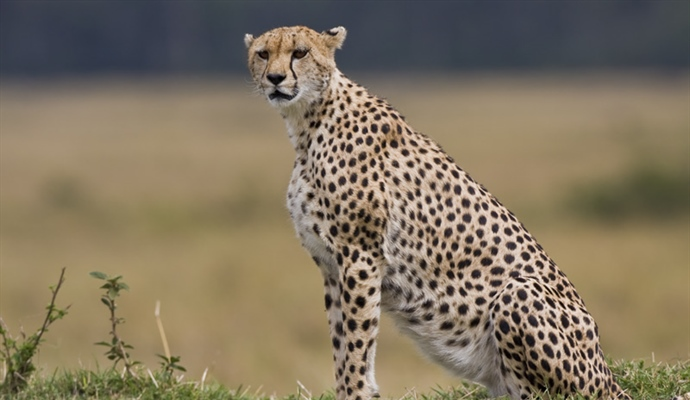 The cheetah is a large-sized feline inhabiting most of Africa and parts of the Middle East