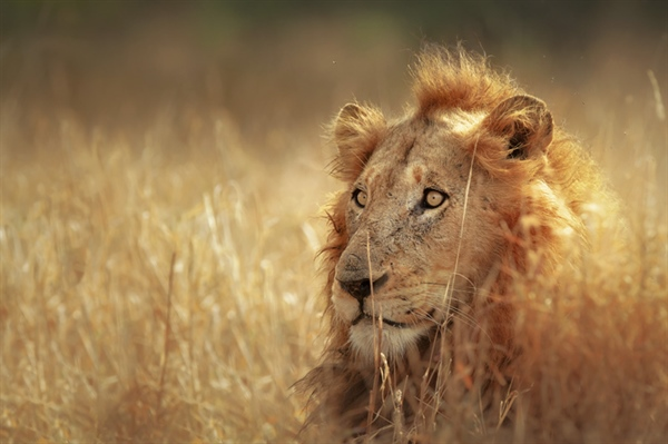 The lion is one of the four big cats in the genus Panthera, and a member of the family Felidae