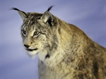 The Eurasian lynx is a medium-sized cat native to European and Siberian forests, South Asia and East Asia