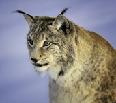 The Eurasian lynx is a medium-sized...