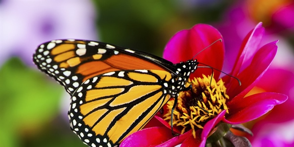 A butterfly is a mainly day-flying insect of the order Lepidoptera, which includes the butterflies and moths
