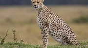 The cheetah is a large-sized feline inhabiting most of...