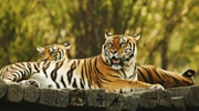 The tiger is the largest cat species, reaching a total body...