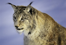 The Eurasian lynx is a medium-sized cat native to European and Siberian forests,...
