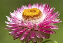 The flowers of plants that make use of biotic pollen vectors commonly have...