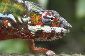 Chameleons are a distinctive and highly...
