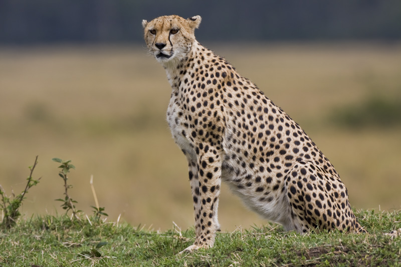 The cheetah is a large-sized feline inhabiting...