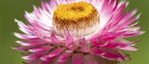 The flowers of plants that make use of biotic pollen vectors commonly have glands called nectaries...