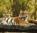 The tiger is the largest cat species,...