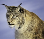 The Eurasian lynx is a medium-sized cat...