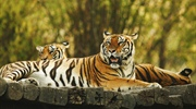 The tiger is the largest cat species, reaching a total body length of up to 3.3 metres (11 ft) and...