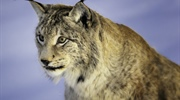 The Eurasian lynx is a medium-sized cat native to European and Siberian forests, South Asia and East...